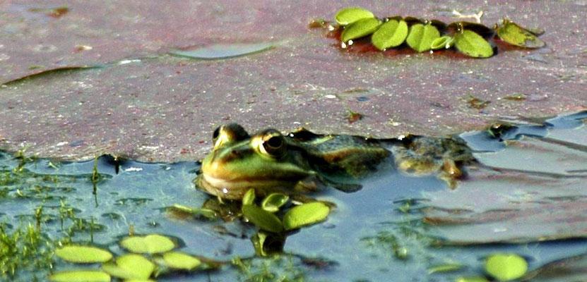 Frosch in einem Freiburger Park