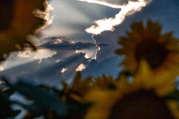 aus dem Sonnenblumenfeld; ; Foto: André Rusch