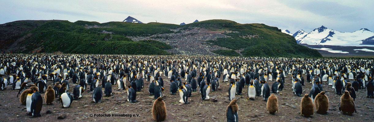 Königspinguine auf Südgeorgien Antarktis; Foto: Wolfgang Eigener