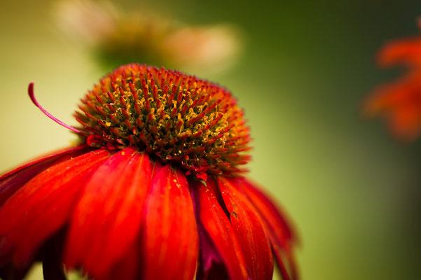 Sonnenhut im Garten;  Foto: Sonja Grambach