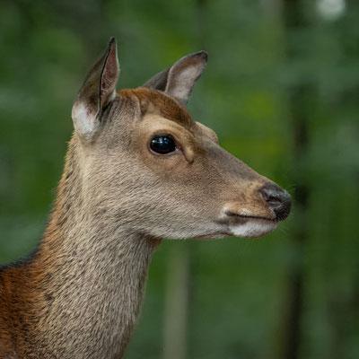 Hirsch im Wildpark; Foto:  Iris Blümling