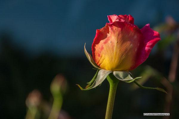 Rose am Morgen,   Foto: Rudi Franck