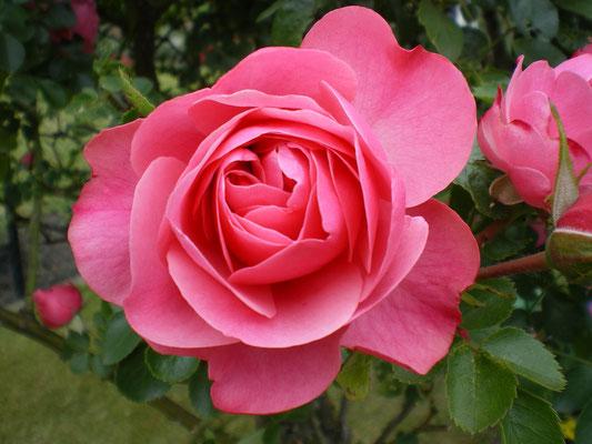 Eine Rose im Garten; Foto: Fred Bischoff