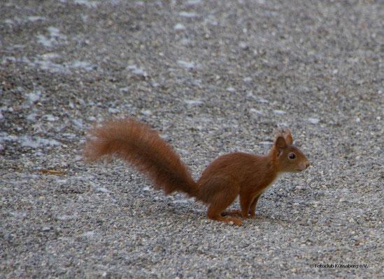 Eichhörnchen; Foto: Helmut Heidinger