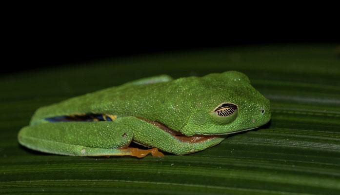 Schlafender Rotaugenfrosch in Costa Rica