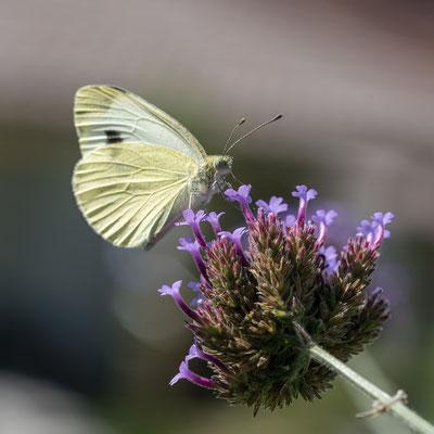 Schmetterling; Foto: Ernst Ostertag