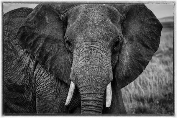 Afrikanischer Elefant; Foto: Inge Straub