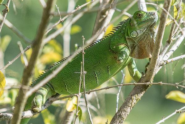 Dreibeiniger grüner Leguan in Costa Rica, Ausschnitt aus 200 mm-Aufnahme; Foto: Rudi Franck
