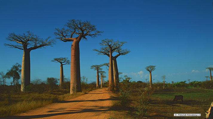 Baobab-Allee im Abendlicht, Morondawa Madagskar;        Foto: Wolgang Eigener