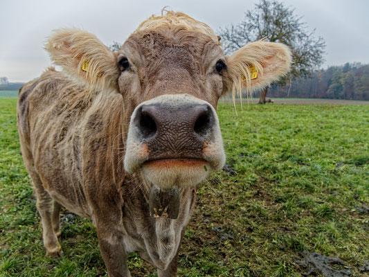 Kuh im Thurgau; Foto: Unser Gast Peter Draemann