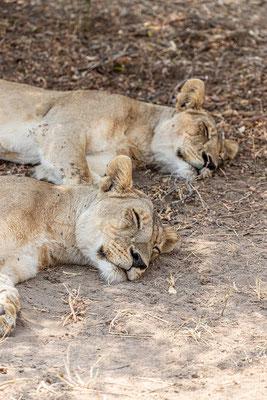 Die Löwen schlafen noch; Foto: Thomas Schulter