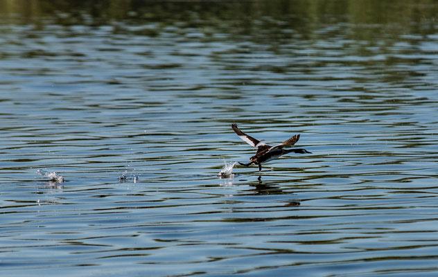 auffliegende Ente auf der Donau; Foto: Rudi Franck