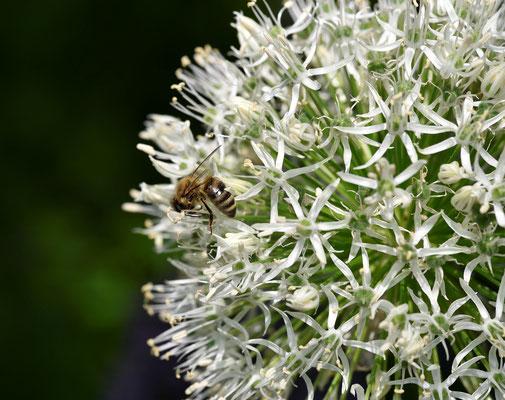 Allium (Zierlauch); Foto: Sabine Mathis