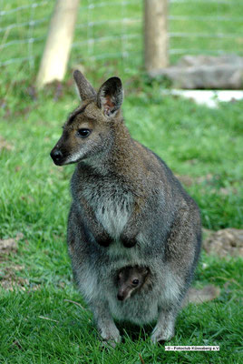 Ein Känguru lebt im Streichelzoo in Dettighofen; Foto: Manfred Hüfner