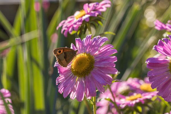 Schmetterling im Garten; Foto: Michael Götz