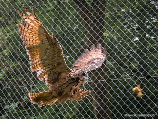 Uhu am Jagen, Wildgehege Waldshut; Foto: Michael Paiano
