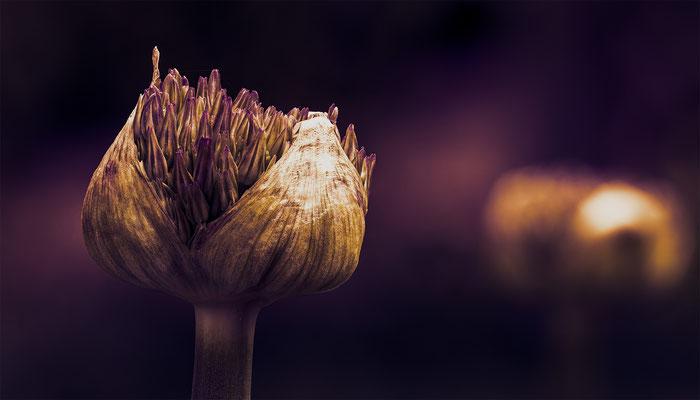 Allium im Garten, Focus Stacking; Foto: iris Blümling