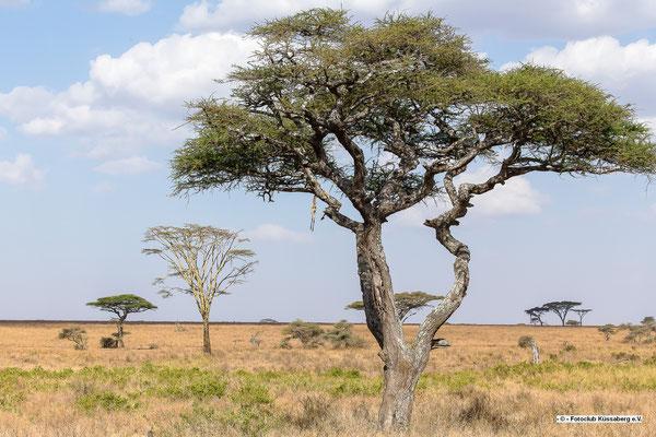 Schirmakazie mit Leopardenbeute; Serengeti; Foto: Thomas Schulter