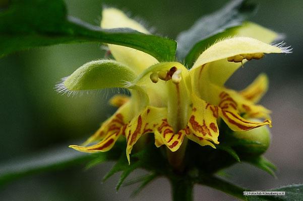Orchidee,   Foto: Joachim Hartbaum