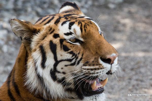 Leopard aus dem Tierpark Subingen, SO; Foto: Thomas Schulter