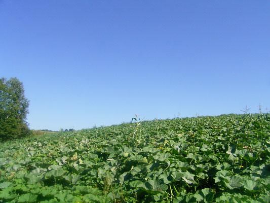 仁頃 カボチャ畑とキレイなオホーツクブルーの青空