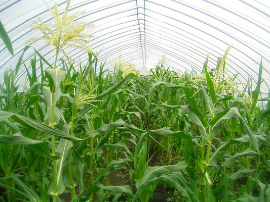 オホーツク青空市場 ピュアホワイト トウモロコシの2m