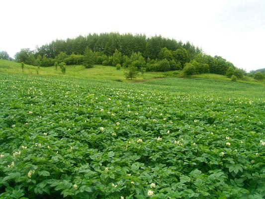 オホーツク青空市場 ジャガイモ とうや 花