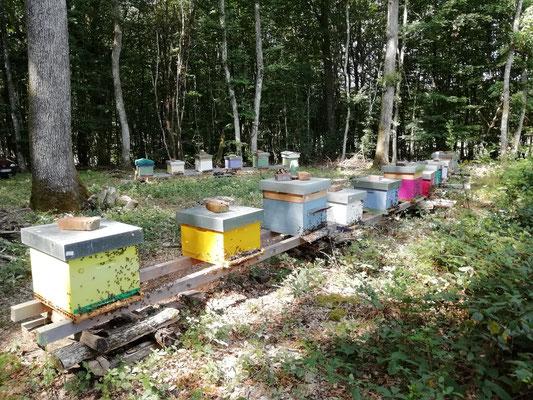 Septembre, les ruches attendent la floraison du lierre