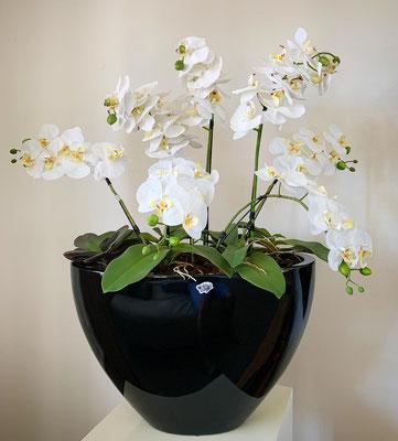 weisse orchideenpracht in schwarzem topf