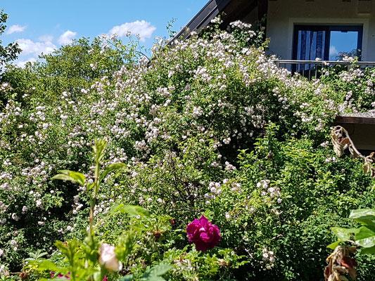 Rose vor dem Balkon