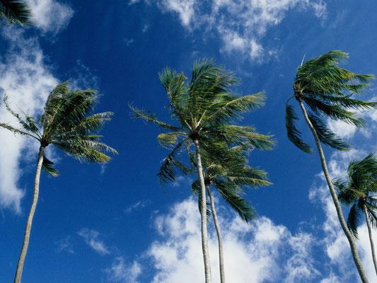 Palmen im Passat - Französisch Poynesien