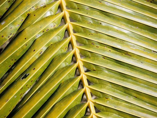 Palmenblatt - Französisch Poynesien