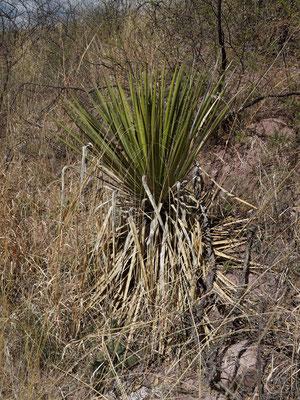 Yucca arizonica (c) Horst Faber