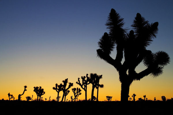 Yucca brevifolia (c) Gregory Smith