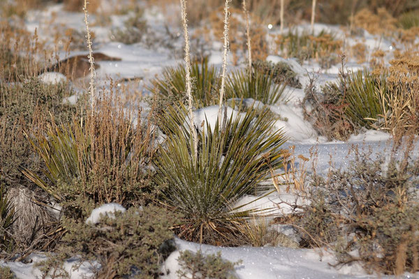 Yucca harrimaniae | Castel Valley | UT (c) Hans Graf