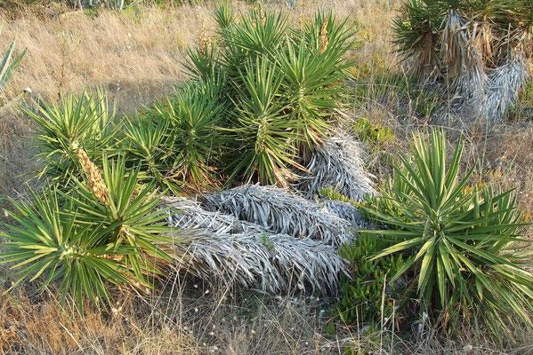 Yucca aloifolia | Verwildert auf Korfu | GR (c) Thomas Boeuf