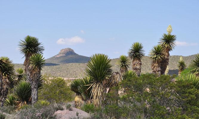Yucca carnerosana • San Luis Potosi • Mexico © Wolfgang Metorn