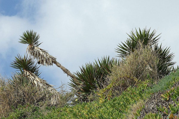 Yucca aloifolia, verwildert in Portugal