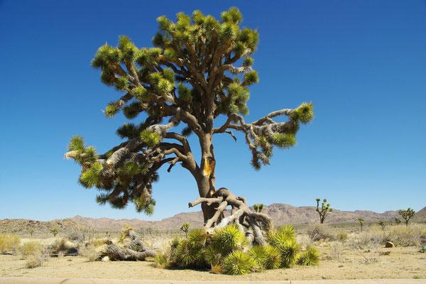 Yucca brevifolia (c) Scheidle