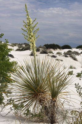 "Yucca elata ""White Sands"" © Dr.  Christian Zolles"