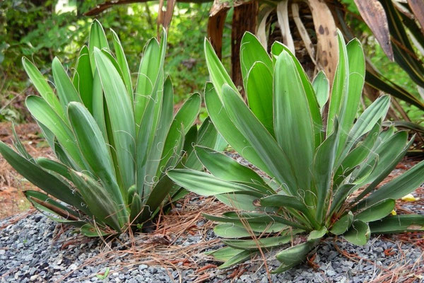 "Yucca filamentosa ""Concava"" © Michael Papay"