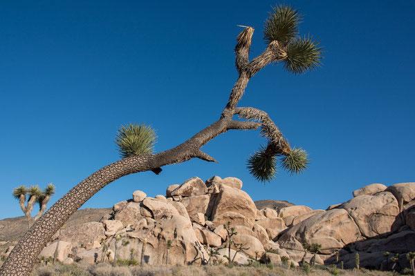 Yucca brevifolia (c)
