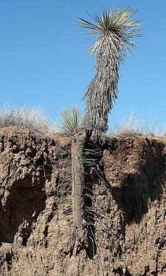 Yucca elata - Pfahl-artiges Rhizom