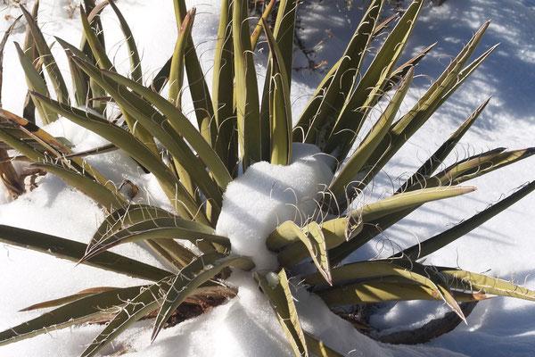 Yucca baccata | La Sal Mts | UT (c) Hans Graf