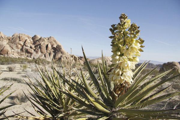 Yucca schidigera (c) Laura Camp