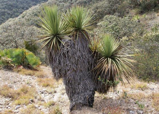 Dasylirion serratifolium • Oaxaca • Mexico © Bertus Spee