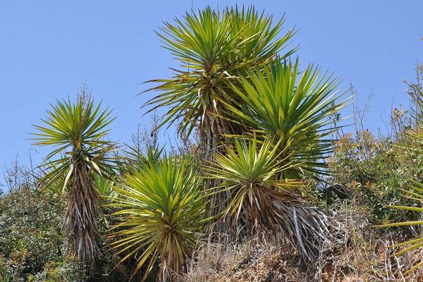 Yucca aloifolia, verwildert in Südspanien