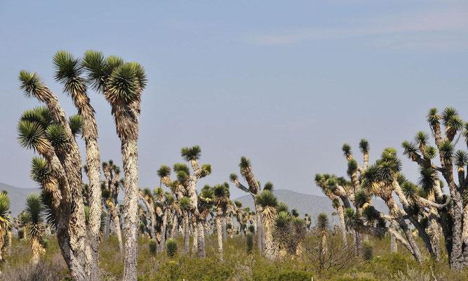 Yucca filifera • San Luis Potosi • Coahuila • MEX © W. Metorn
