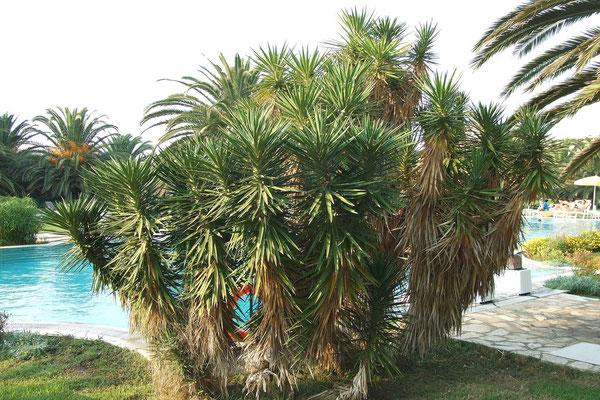 Yucca aloifolia | Kultiviert (c) Thomas Boeuf