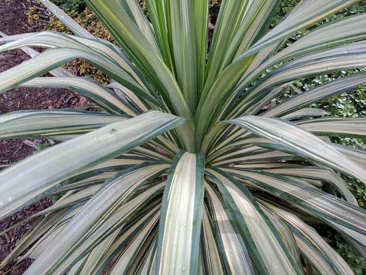 Yucca 'Margaritaville'